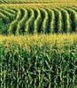 Кукуруза Белозерская 295 СВ