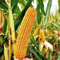 Насіння кукурудзи Любава 279 МВ (ФАО 270)