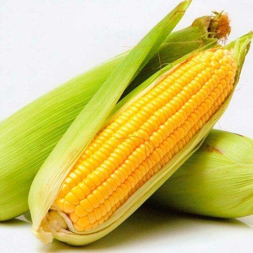 Світстар F1 насіння кукурудзи суперсолодкої Sh2 (Syngenta)