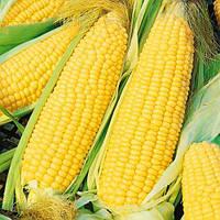 Делікатесна насіння кукурудзи солодкої (Укр.), фото 1
