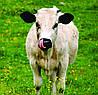 Ароматизатор Молоко для заменителей молока и кормов