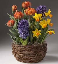 Набір цибулин квітів Токіо 9 цибулин (тюльпани, гіацинти, нарциси)