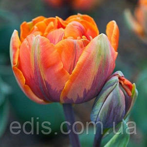 Набор луковиц цветов Токио 9 луковиц (тюльпаны, гиацинты, нарциссы), фото 2