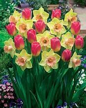 Набір цибулин квітів Верона 6 цибулин (тюльпани, нарциси)