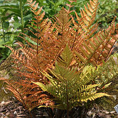 Щитовник Prolifica 1 річний, Щитовник Проліфіка, Dryopteris erythrosora Prolifica, фото 2