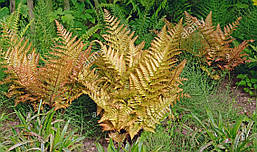 Щитовник Prolifica 1 річний, Щитовник Проліфіка, Dryopteris erythrosora Prolifica, фото 3