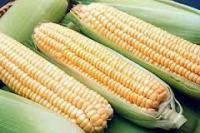Семена кукурузы насіння кукурудзи гібрид Голд 320 (ФАО 320) F1.