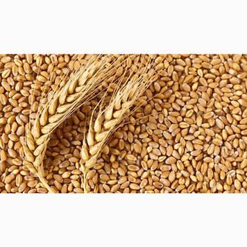 Пшениця фуражна 2-3 клас від 1 тонни з елеватора