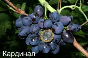 Саджанці винограду Кардинал