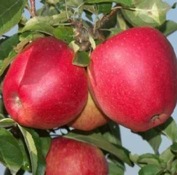 Саджанці яблуні Евелина