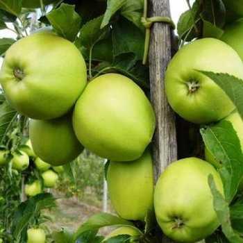 Саджанці яблуні Гриннстар