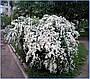 Саджанці Спірея біла, фото 2