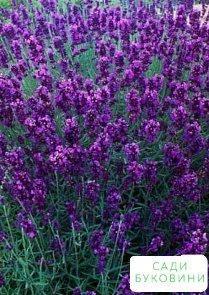 Лаванда вузьколиста 'angustifolia'
