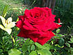 Саженцы роз Бургунд, фото 2