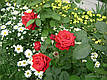 Саженцы роз Бургунд, фото 3