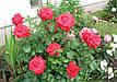 Саженцы роз Бургунд, фото 4