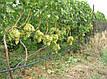 Саженцы винограда Аркадия, фото 4