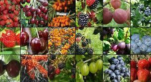 Саженцы ягодных кустарников и винограда
