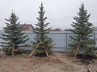 Пересадка крупномеров, хвойные и лиственные деревья
