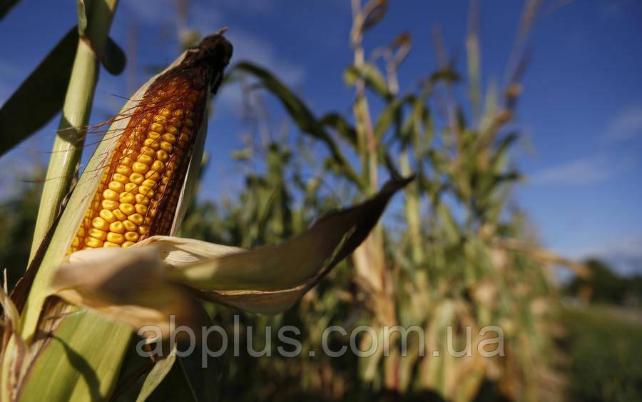 Семена кукурузы EURALIS ЕС ХЕТТРИК