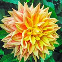 Георгина Advance US Желтый Florium