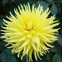 Георгина Inland Dynasty Желтый Florium