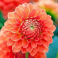 Георгина Safe Shot Оранжевый Florium