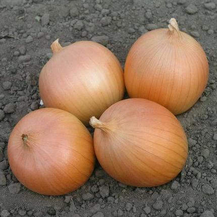 Дайтона F1 семена лука, 250000 семян — лук репчатый, ранний (103-105 дней), Bejo, фото 2