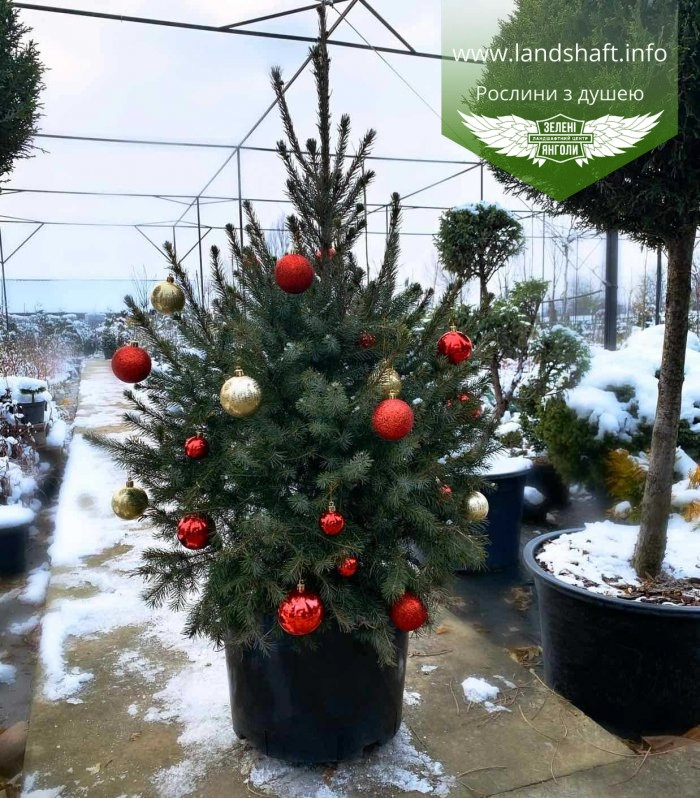 Picea Omorika, Ялина сербська,80-100см,CWRB15 - ком/сітка/горщ. 15л