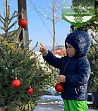Picea Omorika, Ялина сербська,80-100см,CWRB15 - ком/сітка/горщ. 15л, фото 3