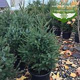 Picea Omorika, Ялина сербська,80-100см,CWRB15 - ком/сітка/горщ. 15л, фото 4