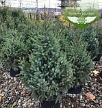 Picea Omorika, Ялина сербська,80-100см,CWRB15 - ком/сітка/горщ. 15л, фото 5