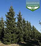 Picea Omorika, Ялина сербська,80-100см,CWRB15 - ком/сітка/горщ. 15л, фото 6