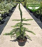 Picea Omorika, Ялина сербська,80-100см,CWRB15 - ком/сітка/горщ. 15л, фото 7