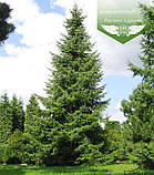 Picea Omorika, Ялина сербська,80-100см,CWRB15 - ком/сітка/горщ. 15л, фото 8