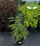 Picea Omorika, Ялина сербська,80-100см,CWRB15 - ком/сітка/горщ. 15л, фото 10