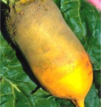 Семена свеклы кормовой Экендорфская одноростковая