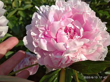 Півонія Sarah Bernhardt