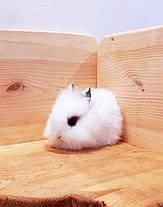 """Карликовый торчеухий кролик,порода """"Львиная голова"""",окрас """"Белый с шокол.окантовкой"""",возраст 1мес.,мальчик, фото 2"""