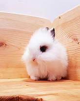 """Карликовый торчеухий кролик,порода """"Львиная голова"""",окрас """"Белый с шокол.окантовкой"""",возраст 1мес.,мальчик, фото 3"""