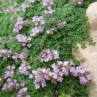 Тимьян (чабрец) ранний Коцинеус (Thymus praecox Coccineus)(Контейнер С 1.2 л)