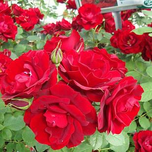 Саджанці паркової троянди Хоуп фо Хьюманіті (Hope for Humanity)