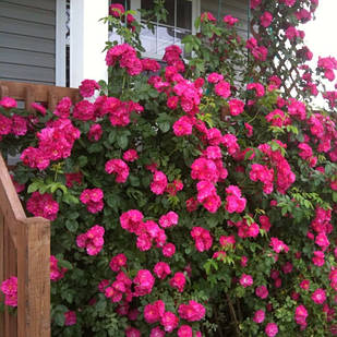 Саджанці канадської троянди Джон Кебот (John Cabot)