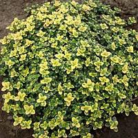 Тимьян лимоннопахнущий Донна Валлей (Thymus citriodorus Doone Valley)(Контейнер С 1.2л)