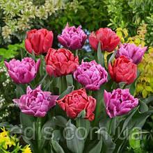 Набір цибулин квітів Маргарита 7 цибулин тюльпанів