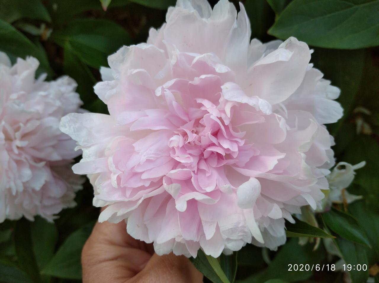 Пион Madame Rose Rendatter