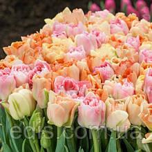 Набір цибулин квітів Карамель 7 цибулин тюльпанів