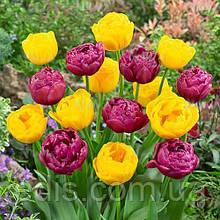 Набір цибулин квітів Помпонетт 7 цибулин тюльпанів
