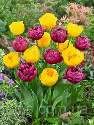 Набір цибулин квітів Помпонетт 7 цибулин тюльпанів, фото 2
