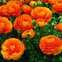 Клубни лютика оранжевого, 5 клубней